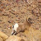 Rocky Mountain big horn sheep by Tim Harper