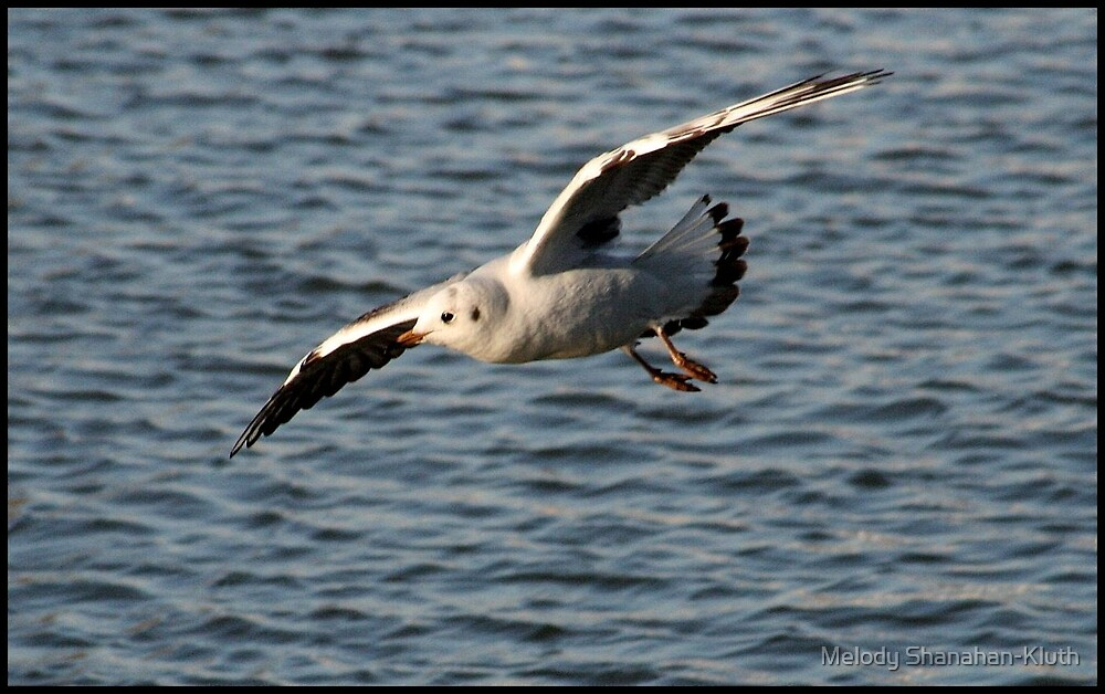 Seagull in flight by Melody Shanahan-Kluth