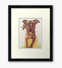 Roxy the Pit Bull Framed Print