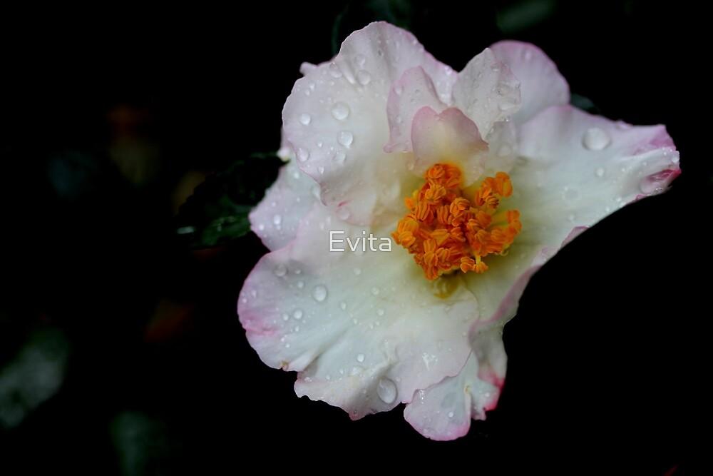 Camellia - An Autumn Flower by Evita