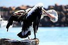 Pelikan-Pflege von Evita