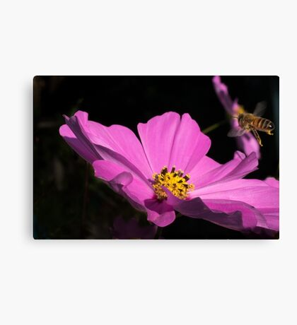 Bee coming into land  Canvas Print