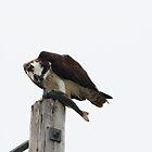 Osprey III by Laura Puglia