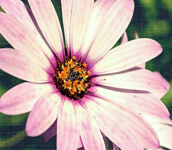 Daisy. by ScenicViewPics