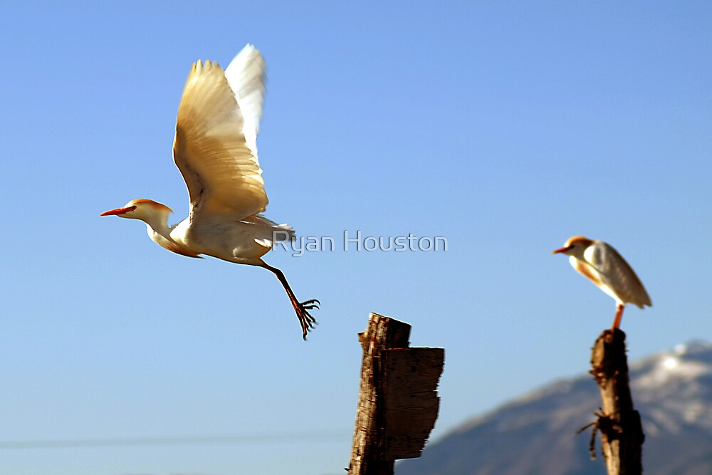 Cattle Egret, Flight by Ryan Houston