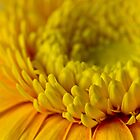 Yellow Gerbera Macro  by Sandra Foster