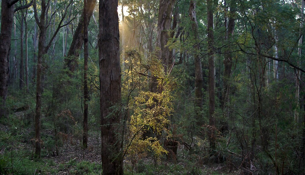 Sunrise,Murrindindi Forest, by Peter Rowley