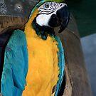 Blue Macaw by Shona