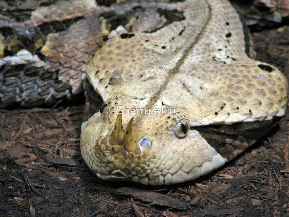 Gabon Viper by Sharry Akin
