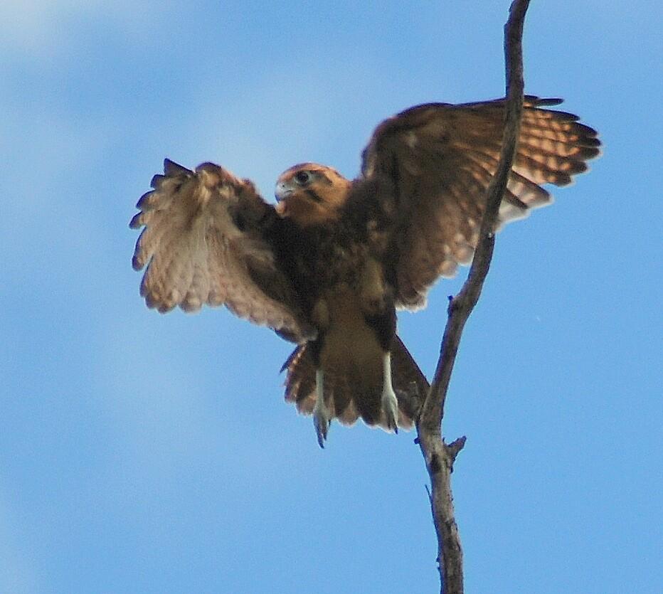 hawk tasmania by katejones