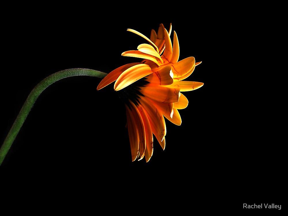 Orange Gerber by Rachel Valley