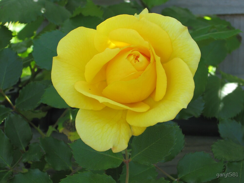 Yellow Rose Of Texas by garyt581
