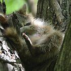 Little raccoon sleeping in a tree by Kate Farkas