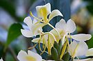 Yellow Butterfly Ginger Lily by Kerryn Madsen-Pietsch