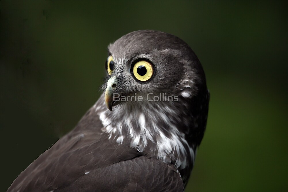 """Gizmo """"What big eyes you have!"""" by Barrie Collins"""