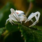 The white spider 2 red stripes 1  by Okaio Créations 2015 by fz 1000 400.000 photos framings different picture on request on each support  by . Okaïo