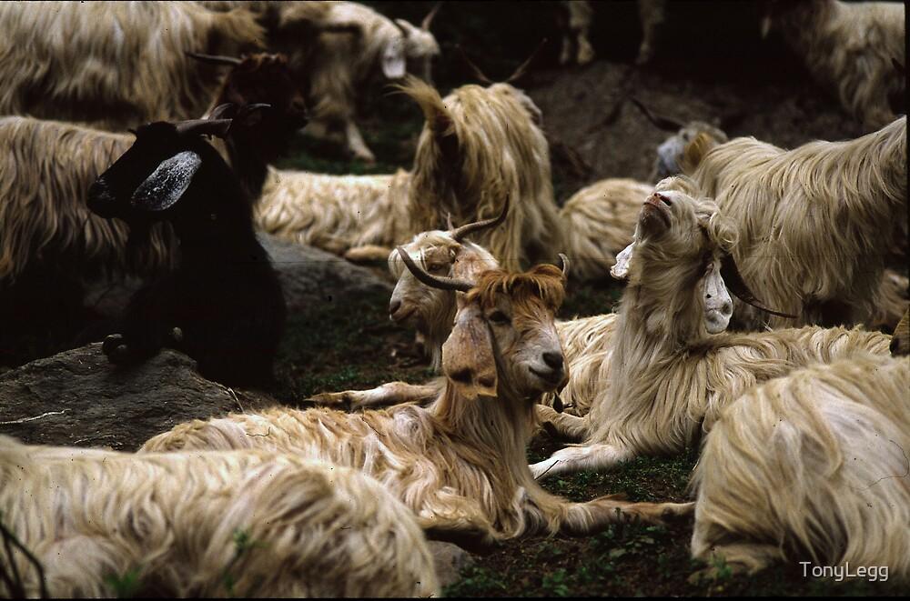 Nagger Heard of goats.. by TonyLegg