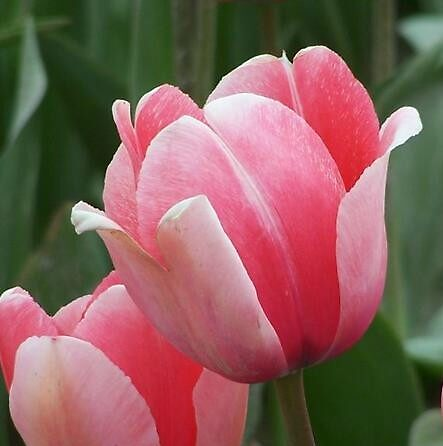 Pink Tulip by Valerie