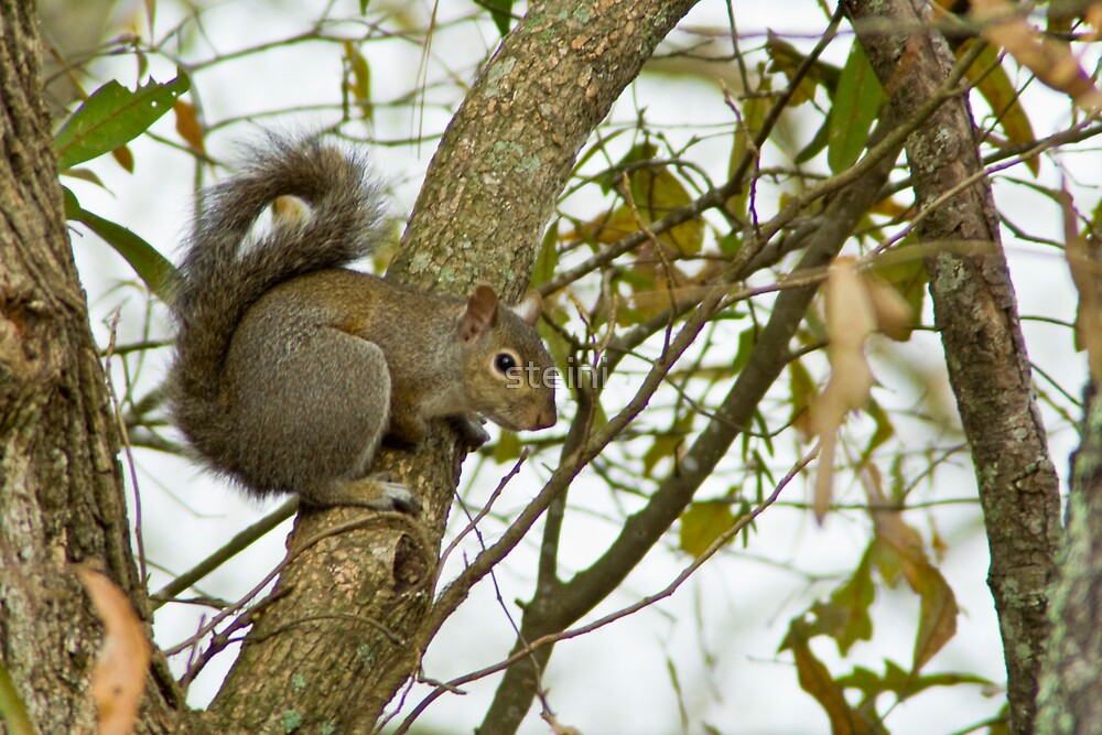 Squirrel-3154 by steini