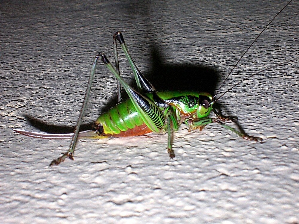 Cricket by Ana Belaj