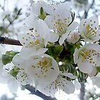 Kirschblüten von Ana Belaj