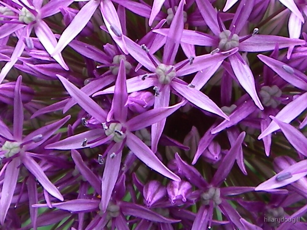 Allium by hilarydougill