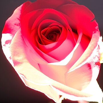 The Rose by krisbicknell