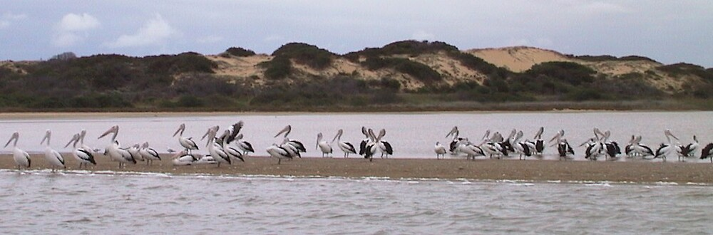 Pelicans on the Coorong, SA by jemt