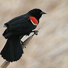 RedWingBlackbird by RichImage