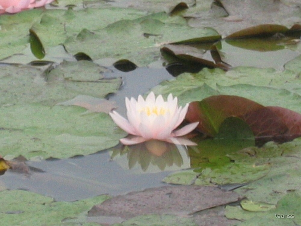 Waterlily by teahss