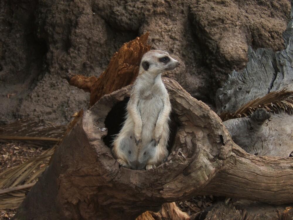 Meerkat by John Witte