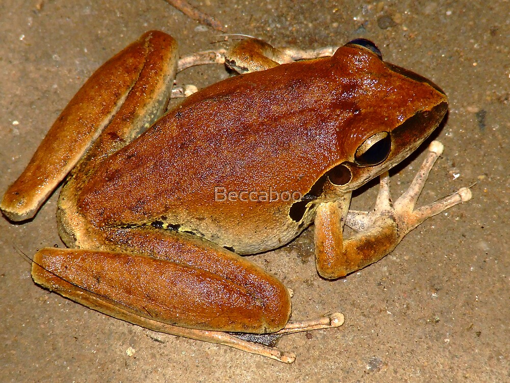 Brown Frog  by Beccaboo