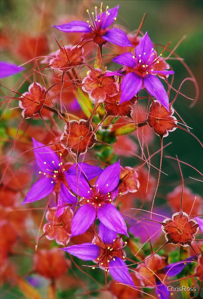 Purple Calytrix, Stirling Ranges by ChrisRoss