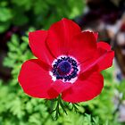 Red Anemone by Cynthia48