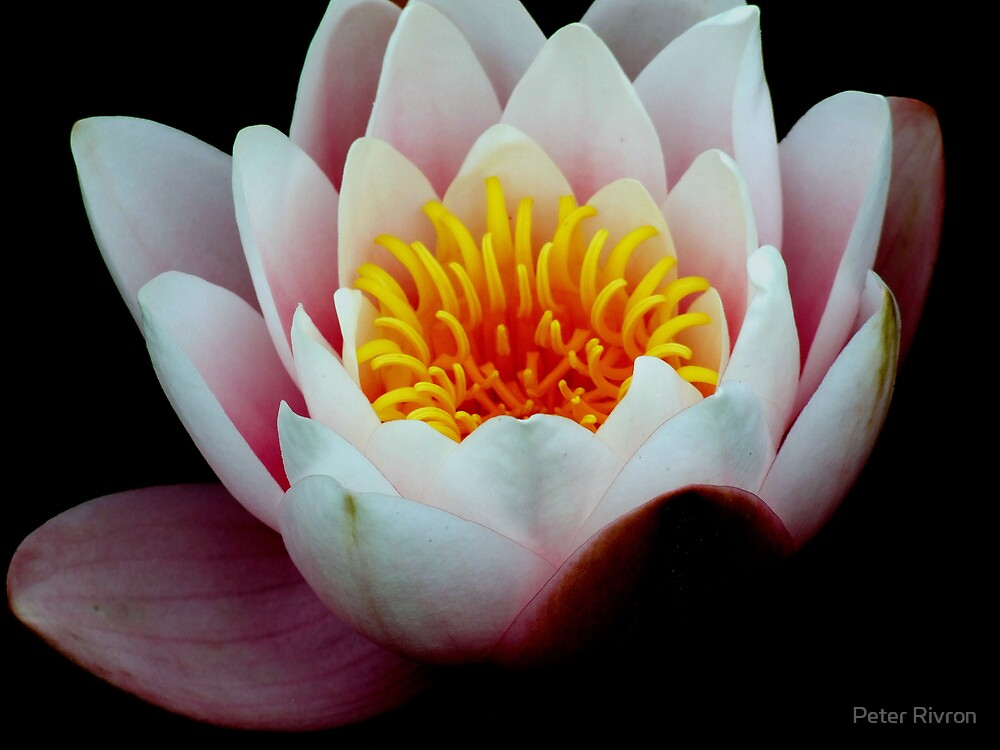 Lily by Peter Rivron