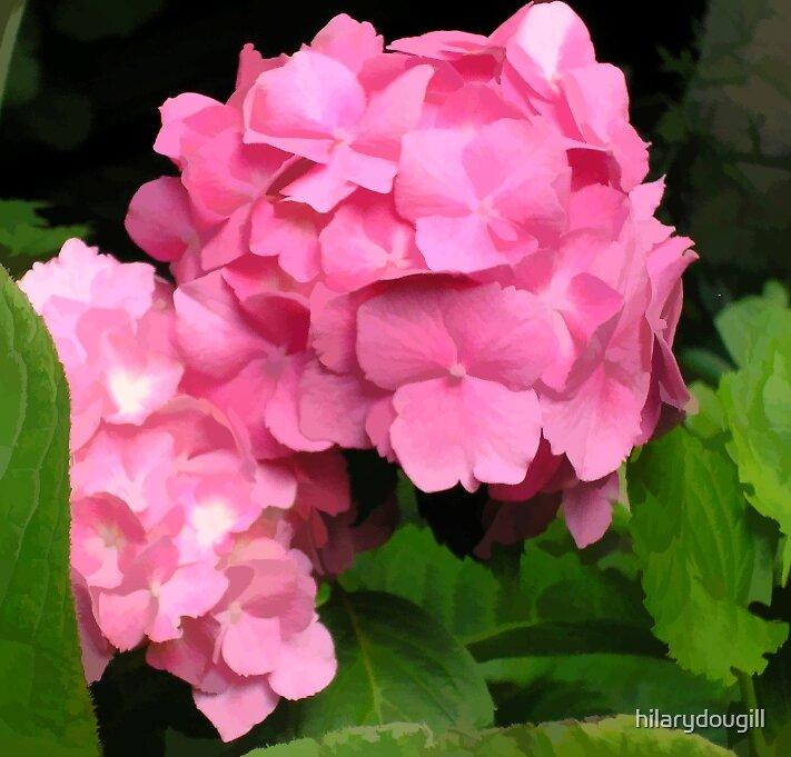 Pink Hydrangea by hilarydougill