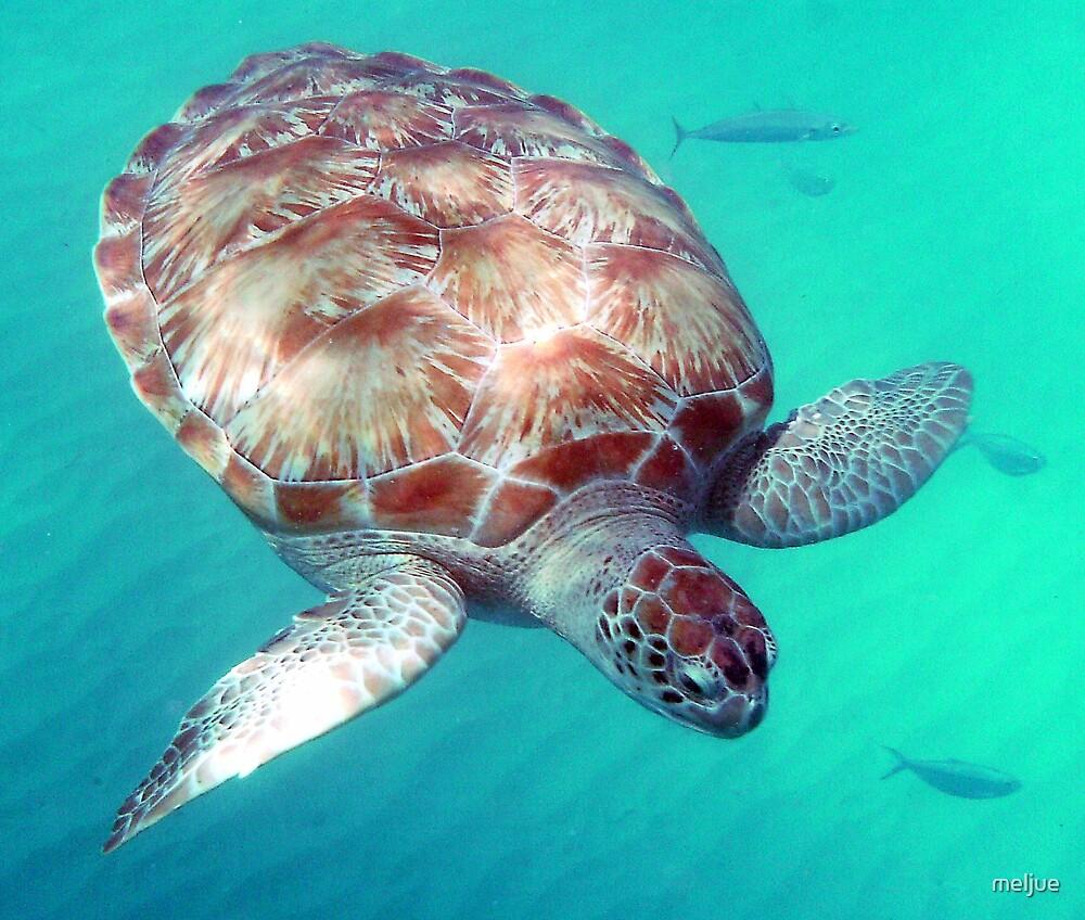 Turtle by meljue