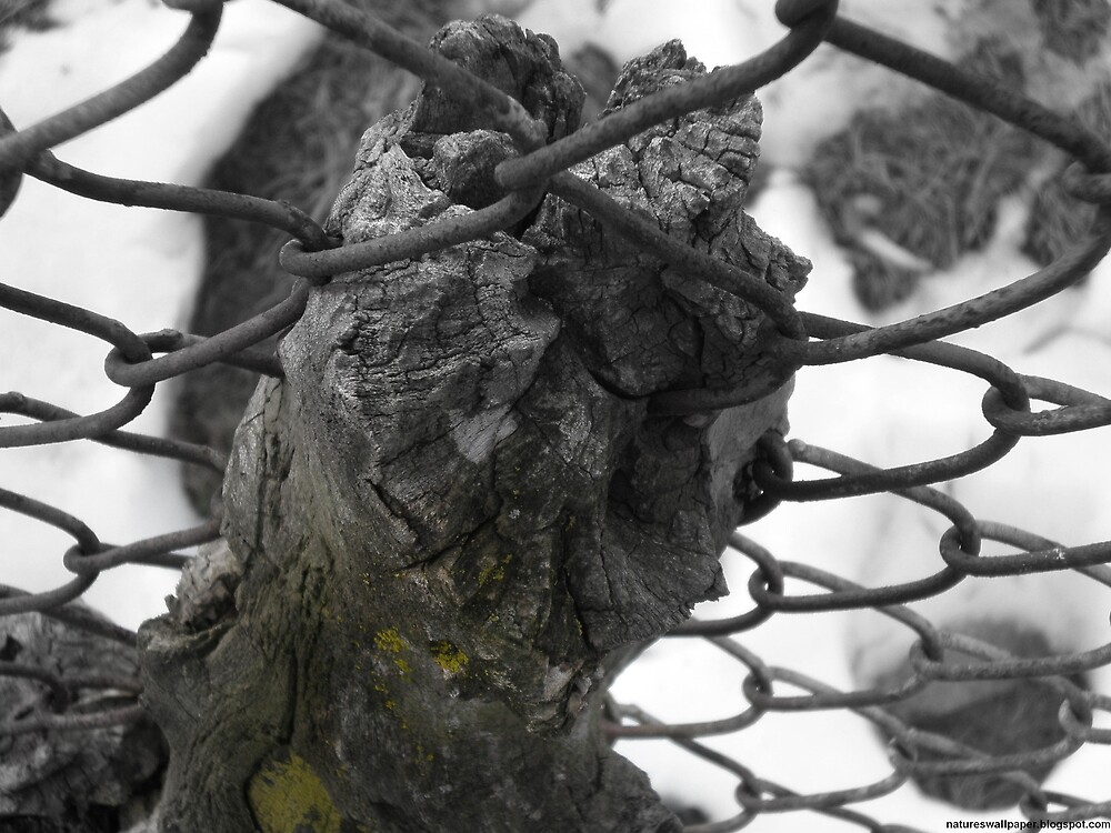 Tree Growing Through The Fence by 1greenthumb