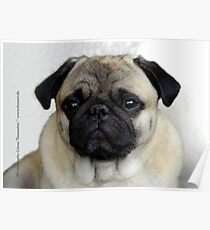 mops little dog Poster