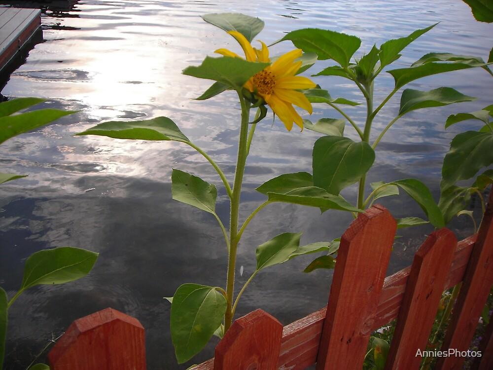 Sunflower by AnniesPhotos