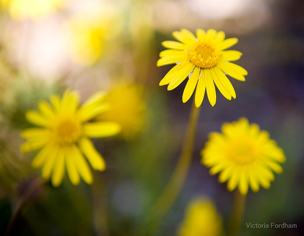 Yellow Daisy by Victoria Fordham