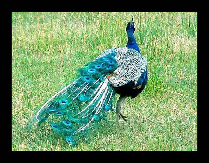 Peacock by DreamingMyth