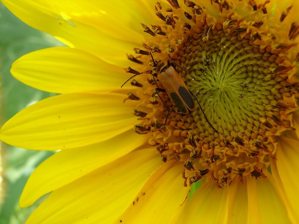 Sunflower bug by inventor