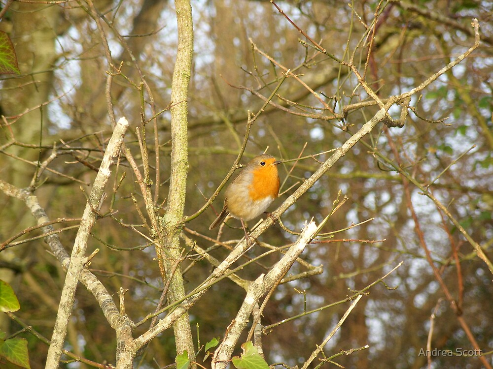 robin by Andrea Scott