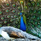 Peacock Flashing His Feathers by DARRIN ALDRIDGE