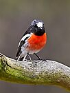 Scarlet Robin by Robert Elliott