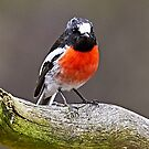 Scarlet Robin by Robert Elliott