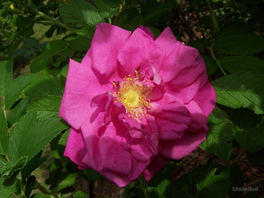 Wild Rose, One by UncleBud