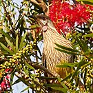 Red Wattlebird by Robert Elliott