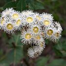 Angophera hispida (Dwarf Apple) by Robert Elliott